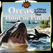 Orcas and Other Animals That Hunt in Packs