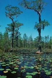 Okefenokee, Florida (100 Page Lined Journal)