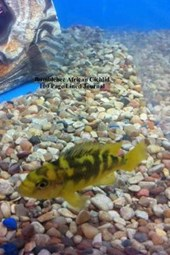 Bumblebee African Cichlid 100 Page Lined Journal