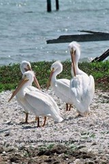 American White Pelicans 100 Page Lined Journal | Unique Journal |