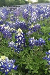 Website Password Organizer Texas Blue Bonnets