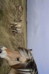 Norwegian Fjord Horses in a Field