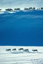 Wild Reindeer in the Snow of Norway