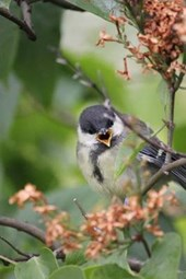 A Coal Tit Perched on a Branch, Birds of the World