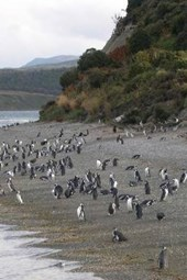 Penguins on an Island in Argentina
