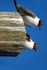 A Laughing Gull Pair Perched on a Post | Unique Journal |