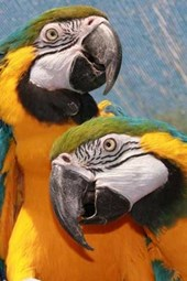 A Loving Pair of Blue and Gold Macaw Parrots