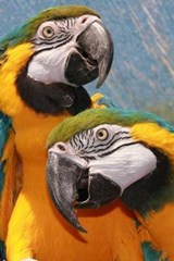 A Loving Pair of Blue and Gold Macaw Parrots | Unique Journal |