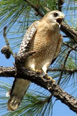 Red Shouldered Hawk, Birds of the World | Unique Journal |