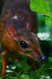 Lesser Mouse-Deer (Tragulus Kanchil) Journal