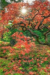 The Colors of a Japanese Maple Leaves in Autumn
