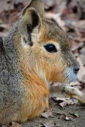 Patagonian Mara Hare Profile, for the Love of Animals