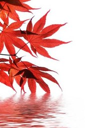 Japanese Maple Leaves on the Water