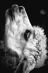Black and White Profile of an Alpaca