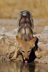 Black-Backed Jackal Gets a Drink Journal | Cool Image |