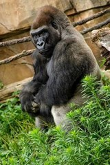 Western Lowland Gorilla Journal | Cool Image |