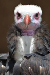 White-Headed Vulture Checking You Out Journal | Cool Image |
