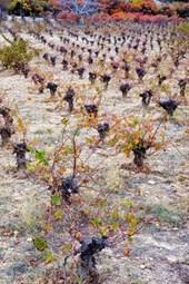 Winter Vineyard in Lophou Cypress Journal