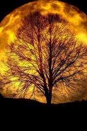 Brilliant Harvest Moon and a Trees Shadow