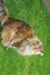 A Siberian Forest Cat in the Grass