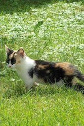 A Calico Kitten in a Meadow, for the Love of Cats