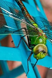 Closeup of a Green Dragonfly, Beautiful Nature