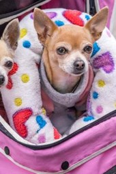 Chihuahuas in a Pink Stroller, for the Love of Dogs