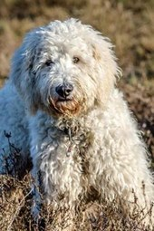 Goldendoodle in a Field, for the Love of Dogs
