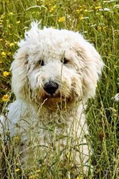 Goldendoodle in the Grass, for the Love of Dogs