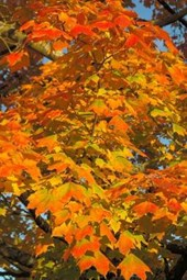 Fall Colors of the Norway Maple Tree