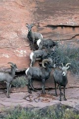 Website Password Organizer Big Horn Sheep on a Cliff | Unique Journal |