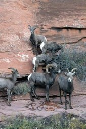 Website Password Organizer Big Horn Sheep on a Cliff