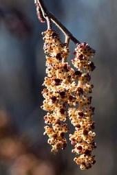 Catkins of Alder in Spring (Alnus Glutinosa) Journal