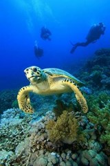 Hawksbill Turtle with Divers Journal | Cool Image |