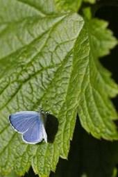 Holly Blue Butterfly on Green Leaf Journal (Celastrina Argiolus)