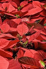Poinsettia Flowers Ready for Christmas Delivery | Unique Journal |