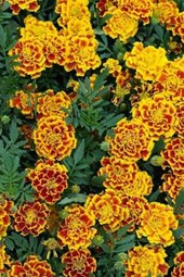Marigold Flowers Blooming in Germany