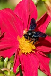 A Carpenter Bee on a Flower, for the Love of Nature