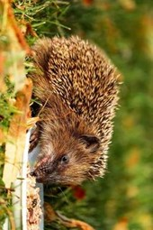 A Hedgehog Chowing Down, for the Love of Animals