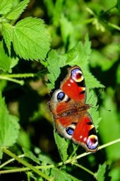 A Peacock Butterfly on Green Leaves, for the Love of Nature