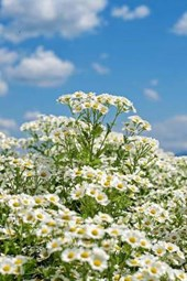 Chamomile Blooms and a Cloudy Sky