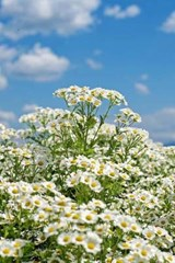 Chamomile Blooms and a Cloudy Sky | Unique Journal |