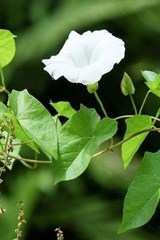 Bindweed Blossom, for the Love of Flowers | Unique Journal |