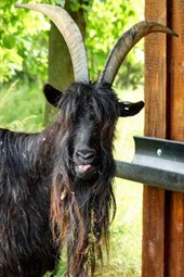 A Billy Goat in the Barn, for the Love of Animals