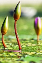 Water Lilies Buds Coming Up, for the Love of Flowers