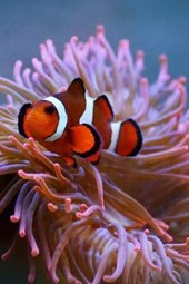 Orange and White Clownfish with Anemone, for the Love of the Sea