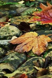 Autumn Leaves Fallen on a Moss Covered Pathway