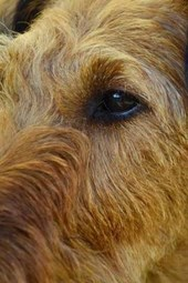 Profile of a Brown Irish Setter, for the Love of Dogs