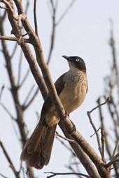 Black-Cap Babbler Bird in the Gambia West Africa Journal