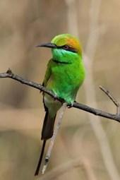Green Bee-Eater (Merops Orientalis) Bird Journal